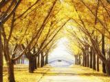 北京银杏最佳观赏期为11月上旬
